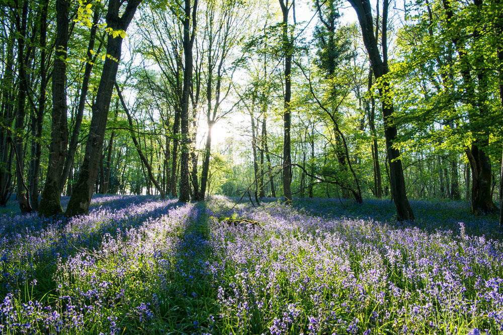 Bluebells in beech woods in late evening light, Sussex, England