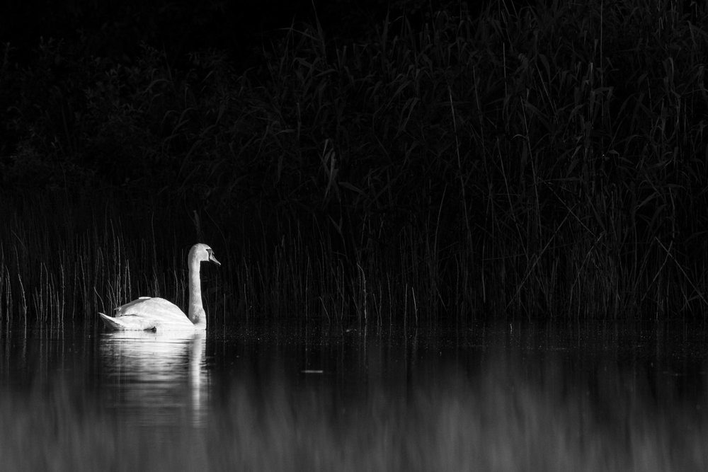 Mute swan at edge of lake, Tartu region, Estonia