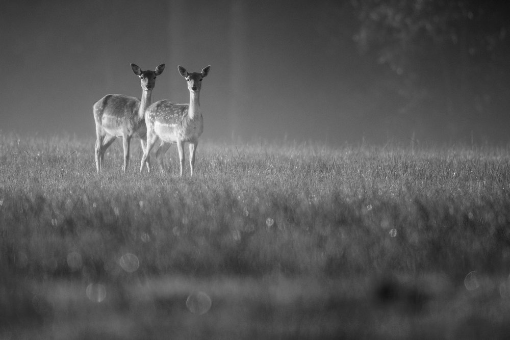 Fallow deer does in early morning mist ashdown forest sussex england