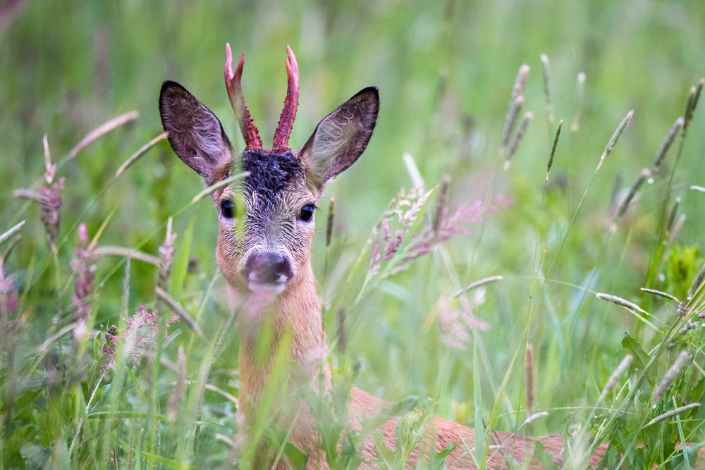 Roebuck on alert in meadow, Tartu region, Estonia
