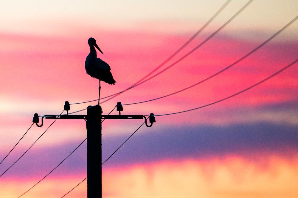 White stork on electricity pylon at sunset, Tartu region, Estonia