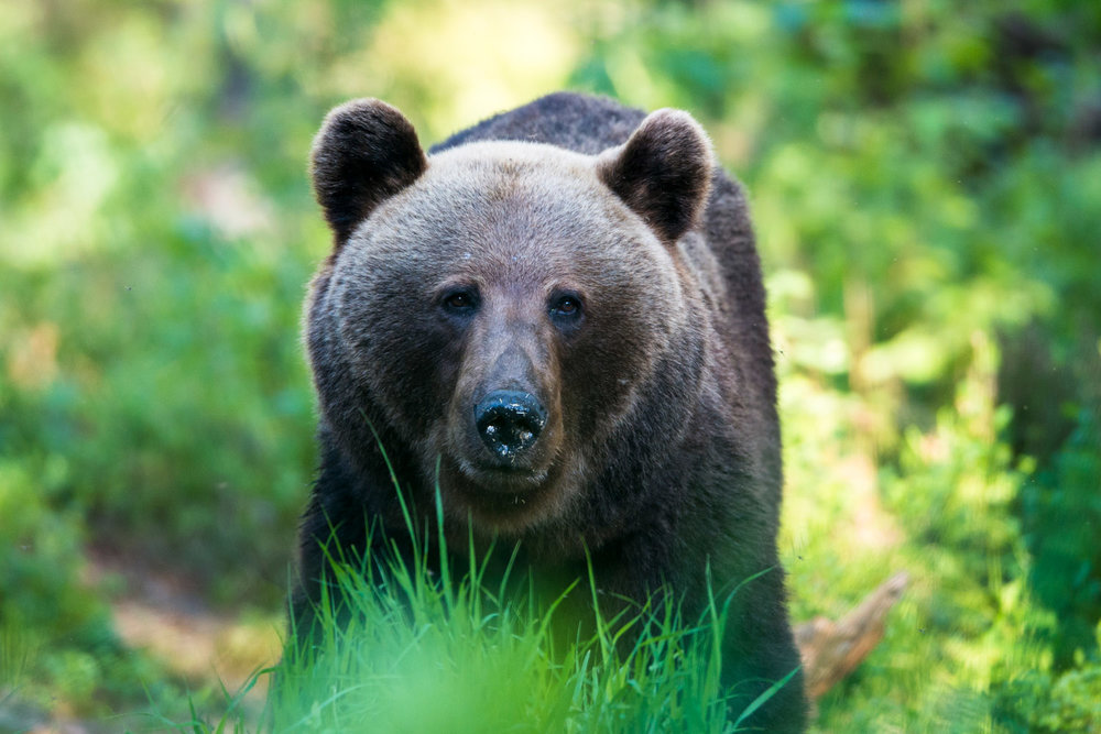 European brown bear portrait, Ida-Viru region, Estonia