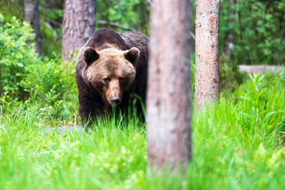 European brown bear in Scots pine forest, Ida-Viru region, Estonia