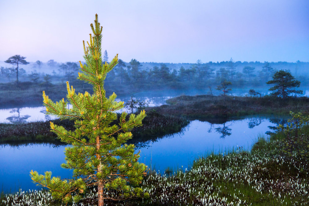 Scots pine and wetland habitat at twilight, Endla Nature Reserve, Järva region, Estonia