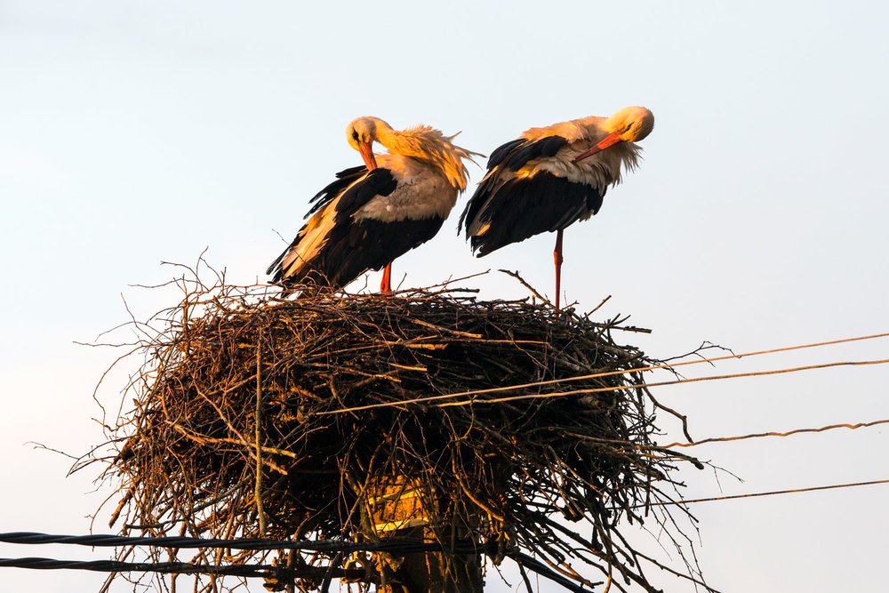 White storks preening at nest built on electricity pylon, Tartu region, Estonia