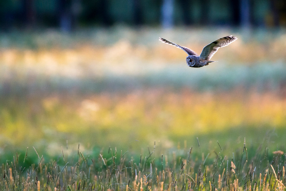 Long-eared owl hunting over meadow, Tartu region, Estonia