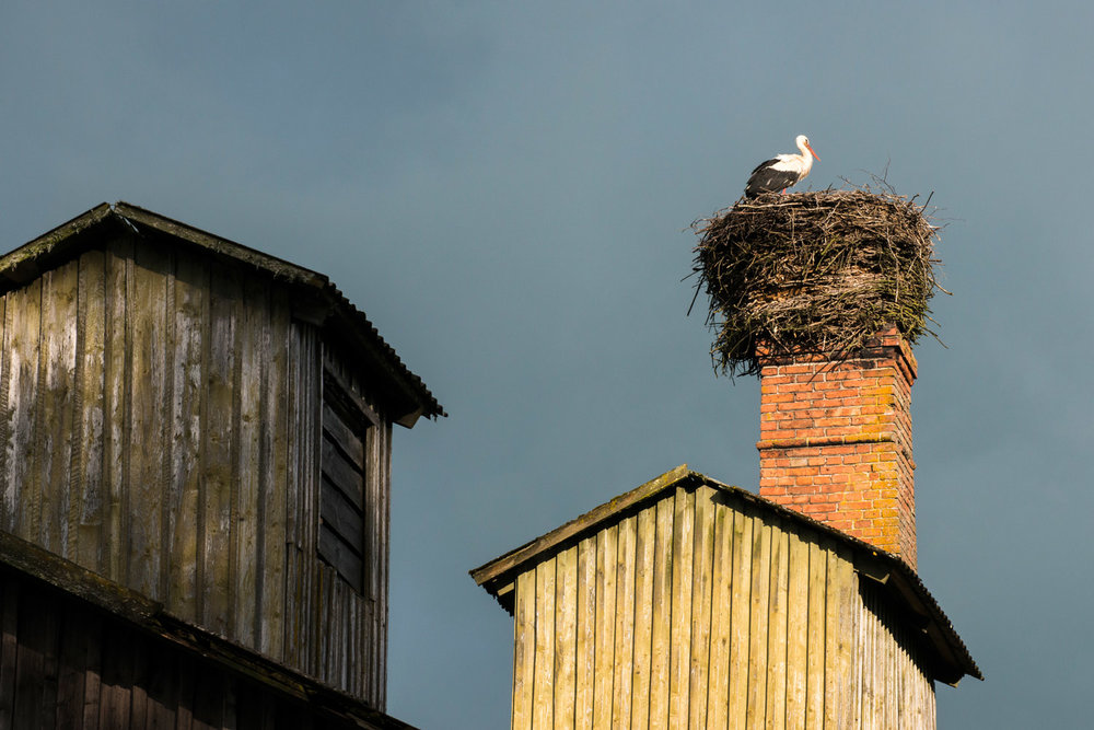 White stork at nest built on barn chimney, Tartu region, Estonia
