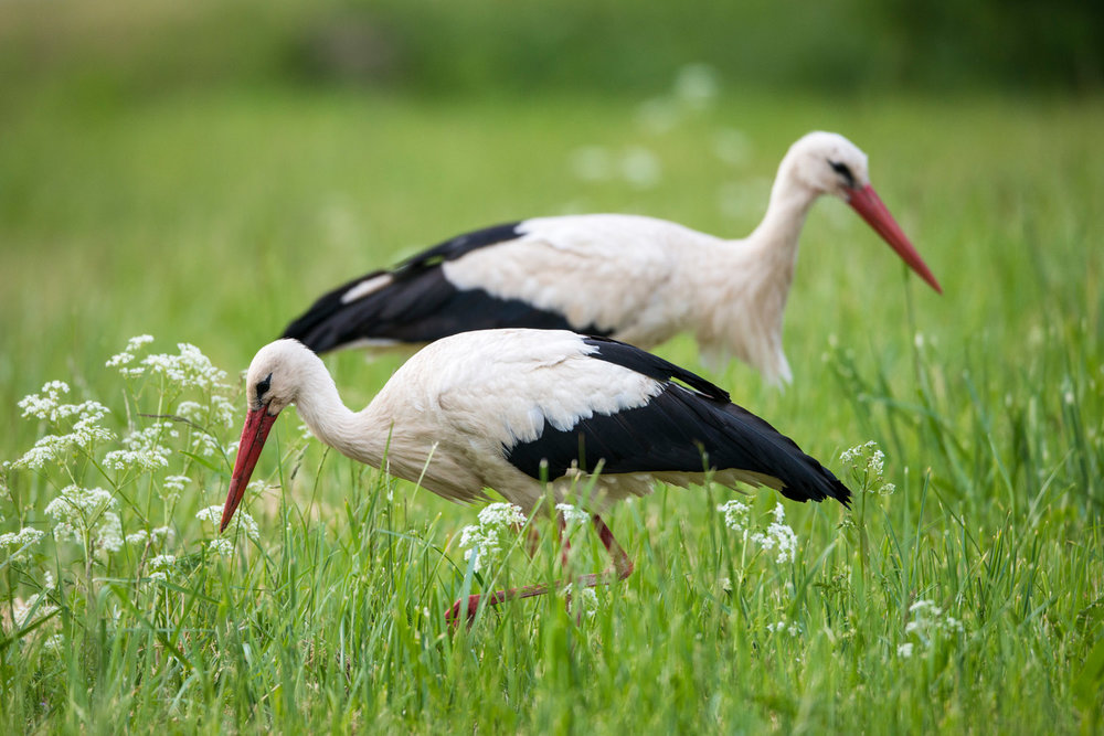 White storks feeding on insects in meadow, Tartu region, Estonia