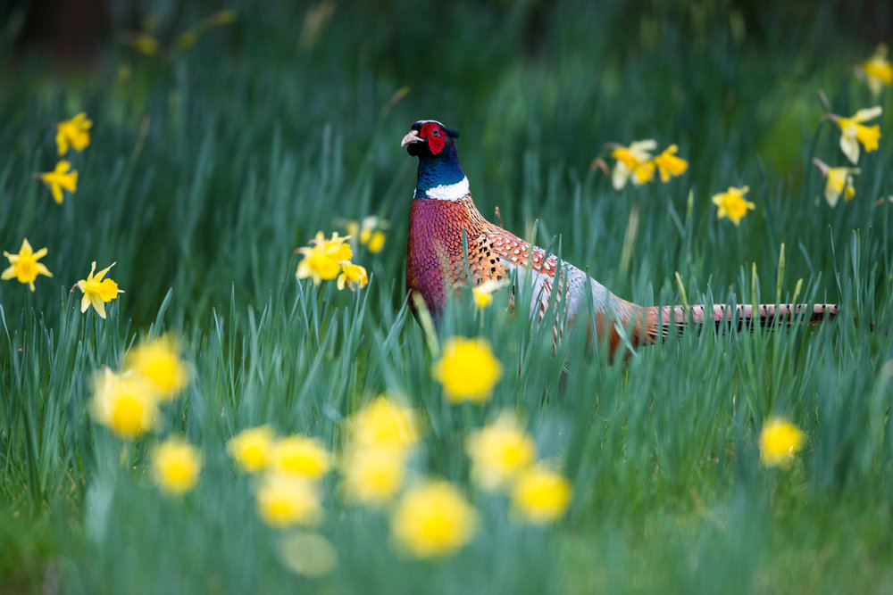Common pheasant amongst daffodils