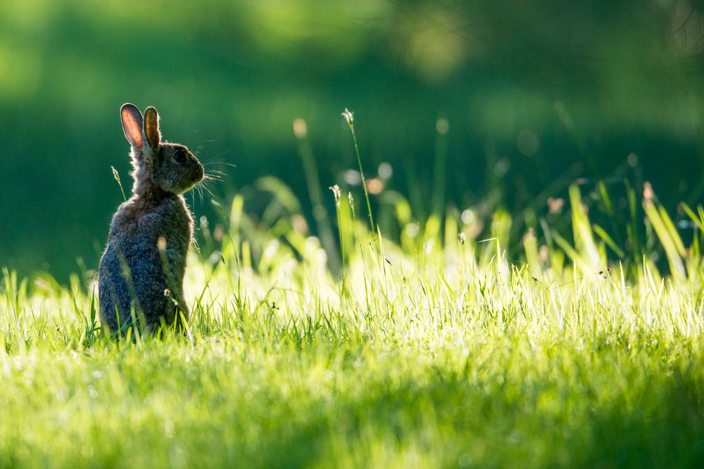 European rabbit on alert at dawn