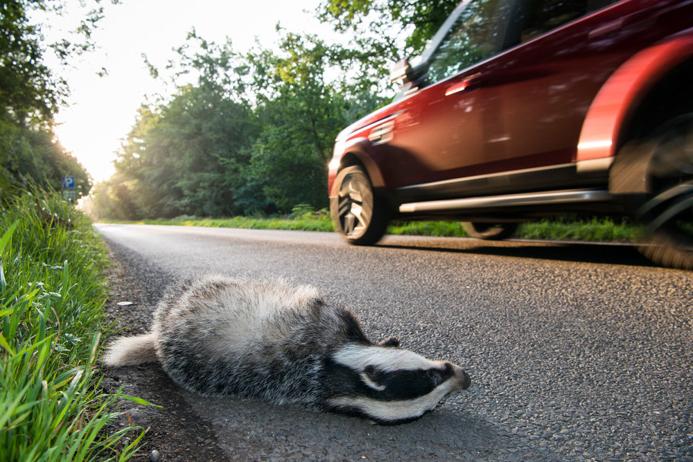 European badger cub roadkill by verge of forest road