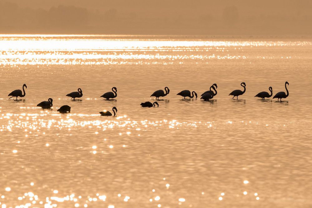 Greater flamingos at sunset, Lake Kerkini, Greece