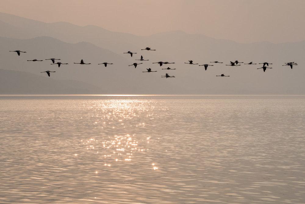 Greater flamingos in flight at sunset, Lake Kerkini, Greece