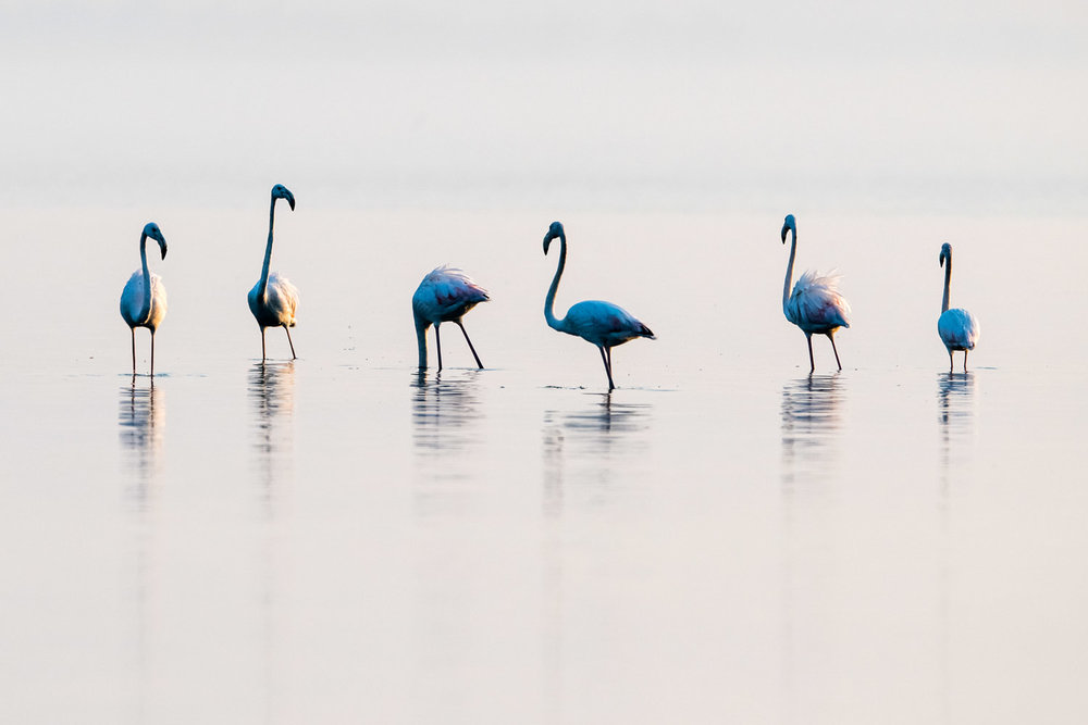 Greater flamingos, Lake Kerkini, Greece