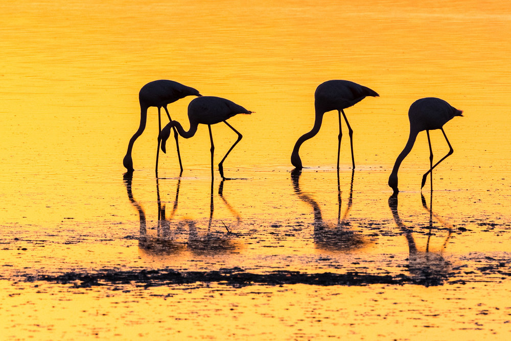 Greater flamingos feeding at sunset, Axios Delta National Park, Thessaloniki, Greece