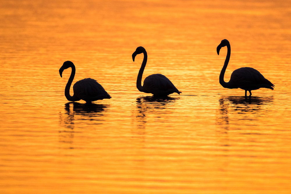 Greater flamingos at sunrise, Axios Delta National Park, Thessaloniki, Greece