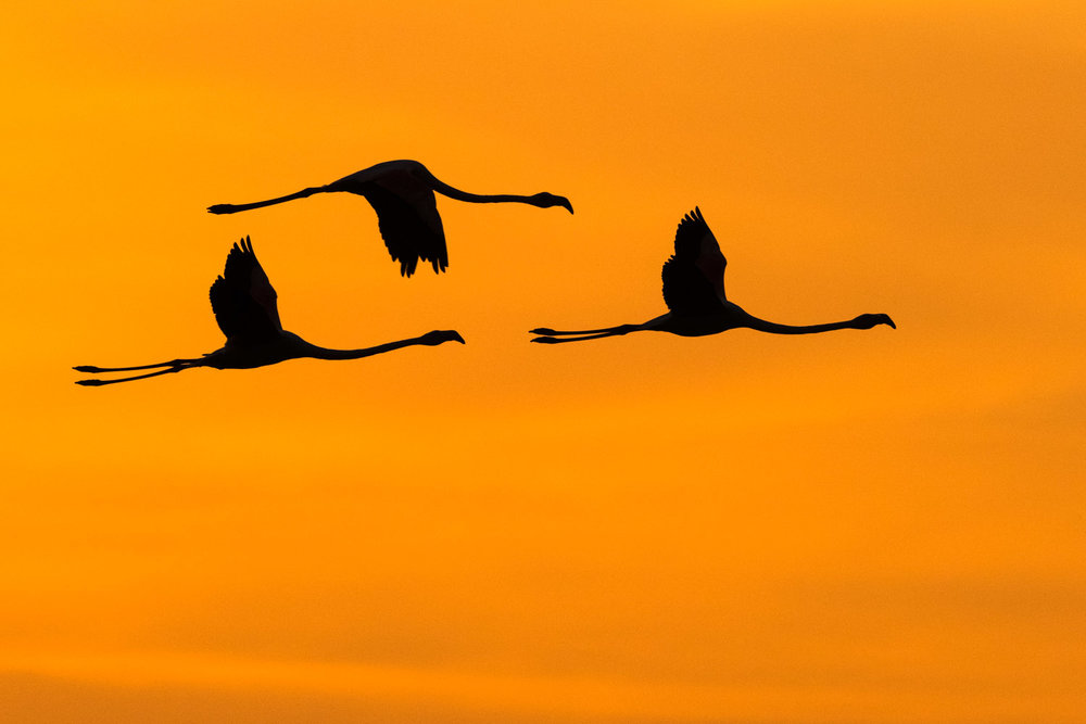 Greater flamingos in flight at sunrise, Axios Delta National Park, Thessaloniki, Greece