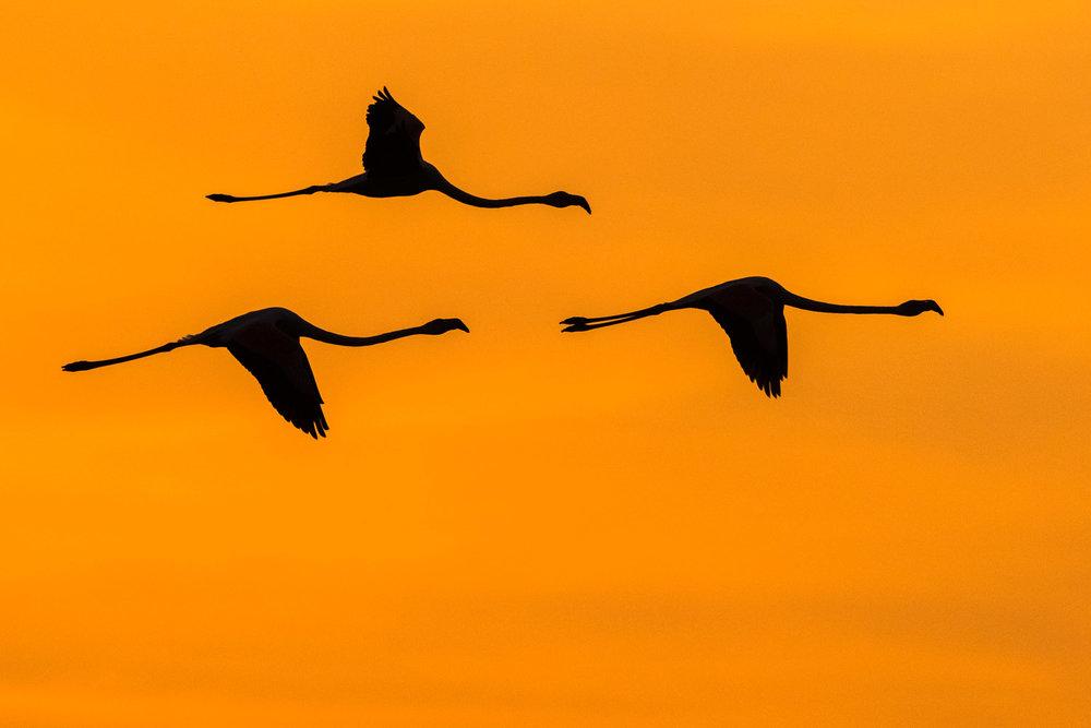 Greater flamingos in flight at sunrise, Axios Delta National Park, Thessaloniki, Greece