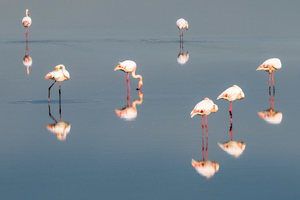 Greater flamingos, Axios Delta National Park, Thessaloniki, Greece