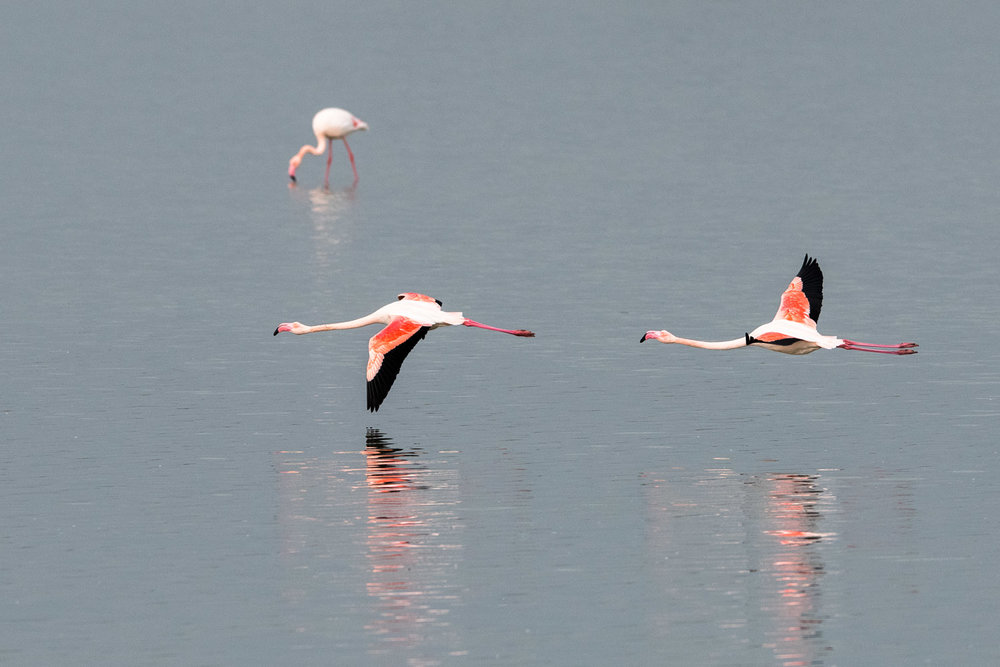 Greater flamingos in flight, Axios Delta National Park, Thessaloniki, Greece