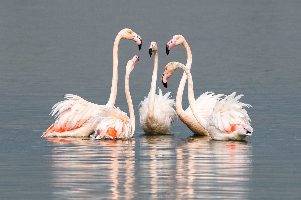 Greater flamingos interacting, Axios Delta National Park, Thessaloniki, Greece