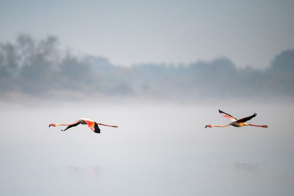 Greater flamingos in flight, Lake Kerkini, Greece