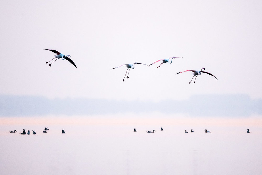 Greater flamingos in flight and common pochards, Lake Kerkini, Greece