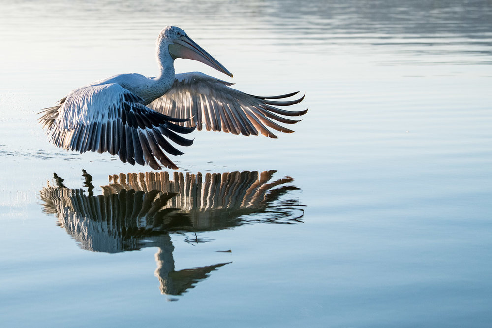 Dalmatian pelican in flight, Lake Kerkini, Greece