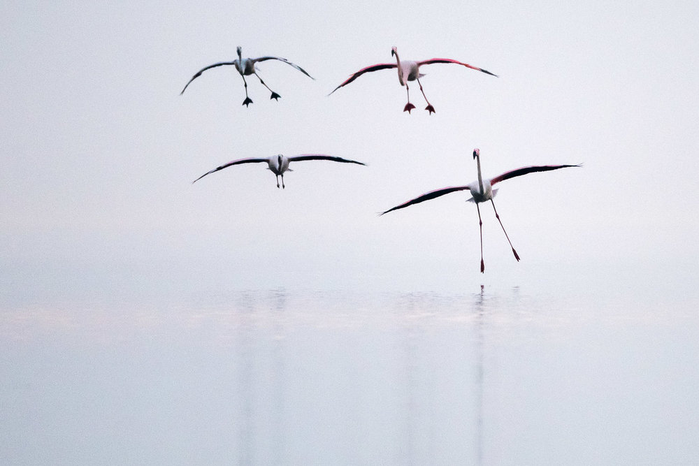 Greater flamingos landing, Lake Kerkini, Greece