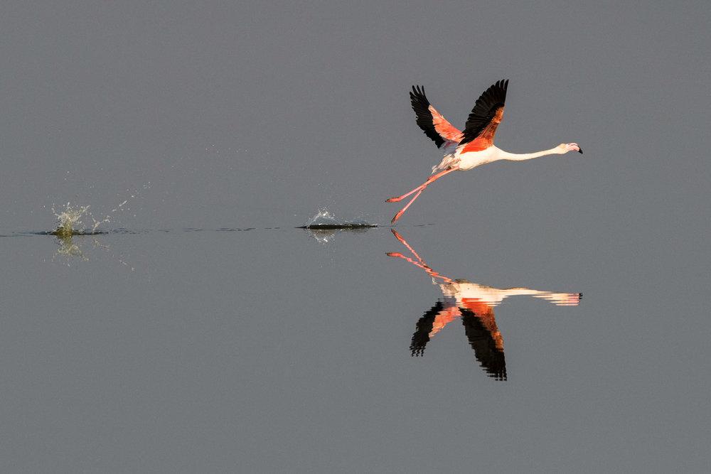 Greater flamingo taking off, Axios Delta National Park, Thessaloniki, Greece