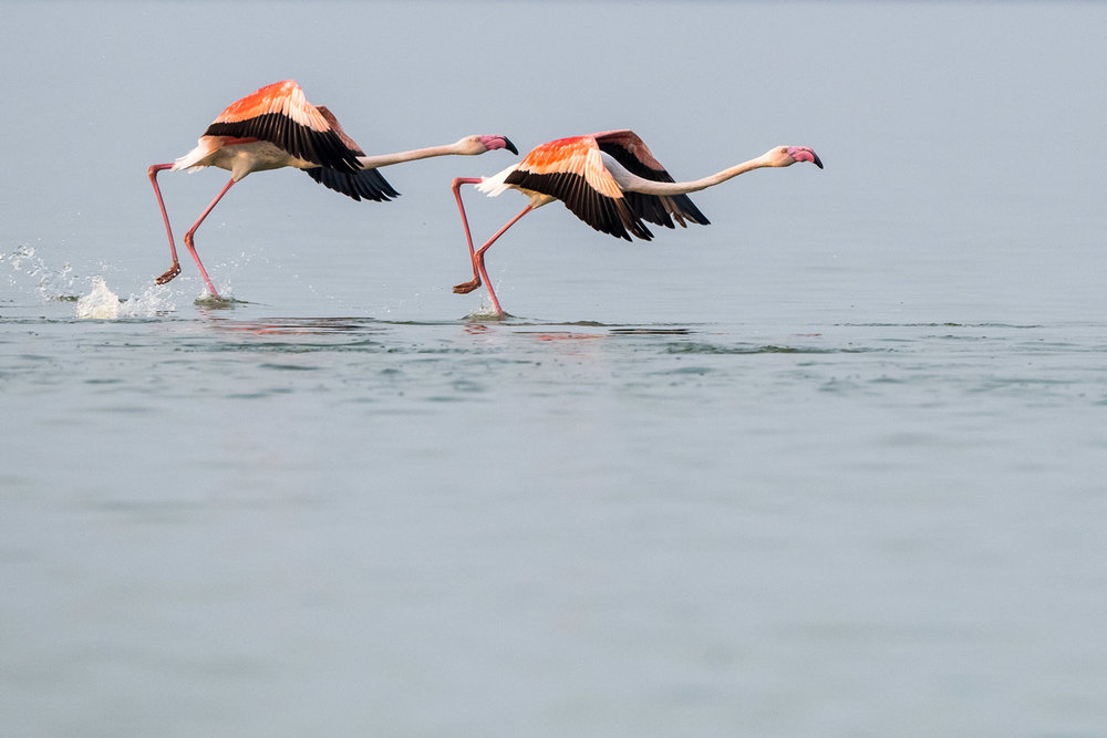 Greater flamingos taking off, Lake Kerkini, Greece