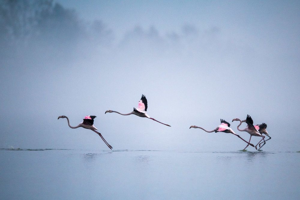 Greater flamingos landing at dawn, Lake Kerkini, Greece