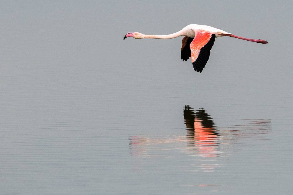 Greater flamingo in flight, Axios Delta National Park, Thessaloniki, Greece