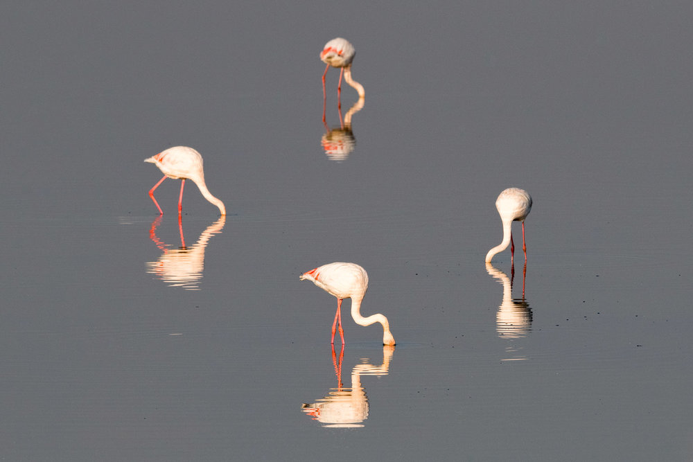 Greater flamingos feeding, Axios Delta National Park, Thessaloniki, Greece