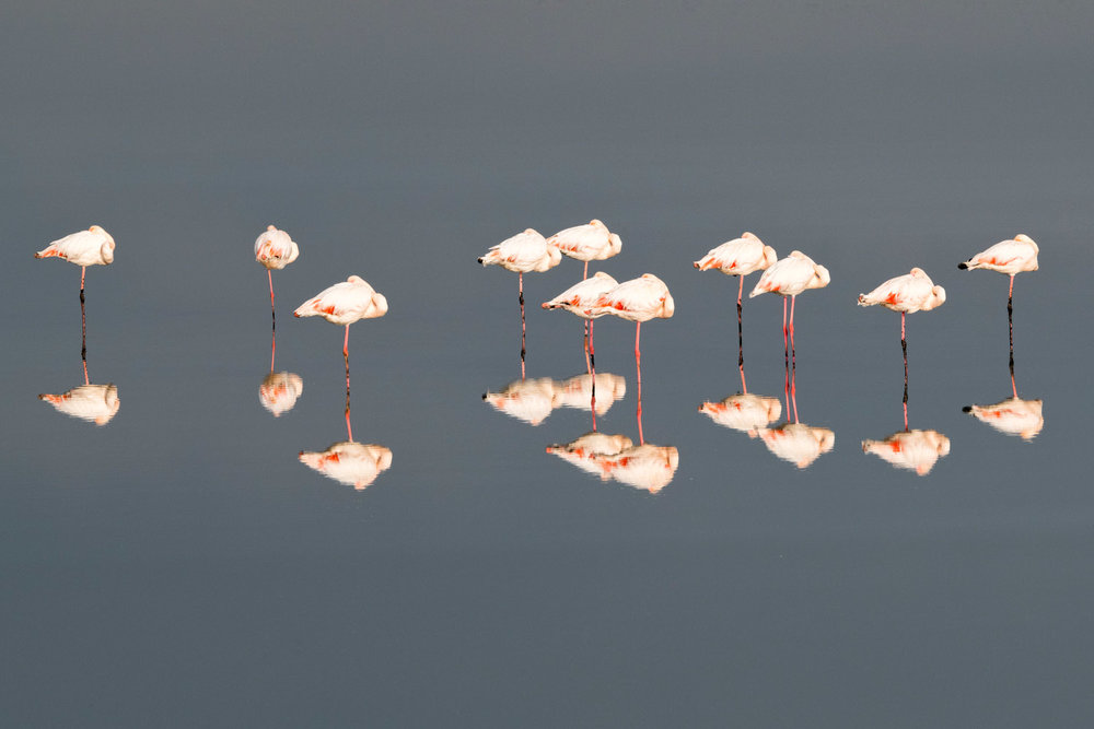 Greater flamingos sleeping, Axios Delta National Park, Thessaloniki, Greece