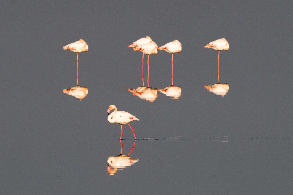 Greater flamingos, Axios Delta National Park, Thessaloniki, Greece