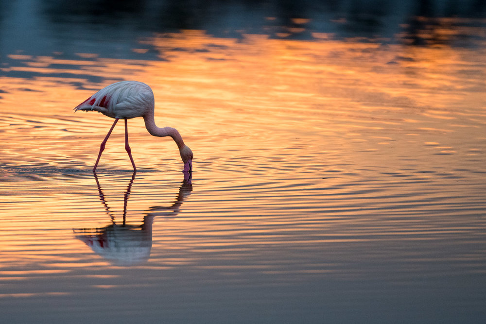 Greater flamingo feeding at sunrise, Axios Delta National Park, Thessaloniki, Greece