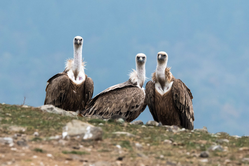 Eurasian griffon vultures, Eastern Rhodope Mountains, Bulgaria