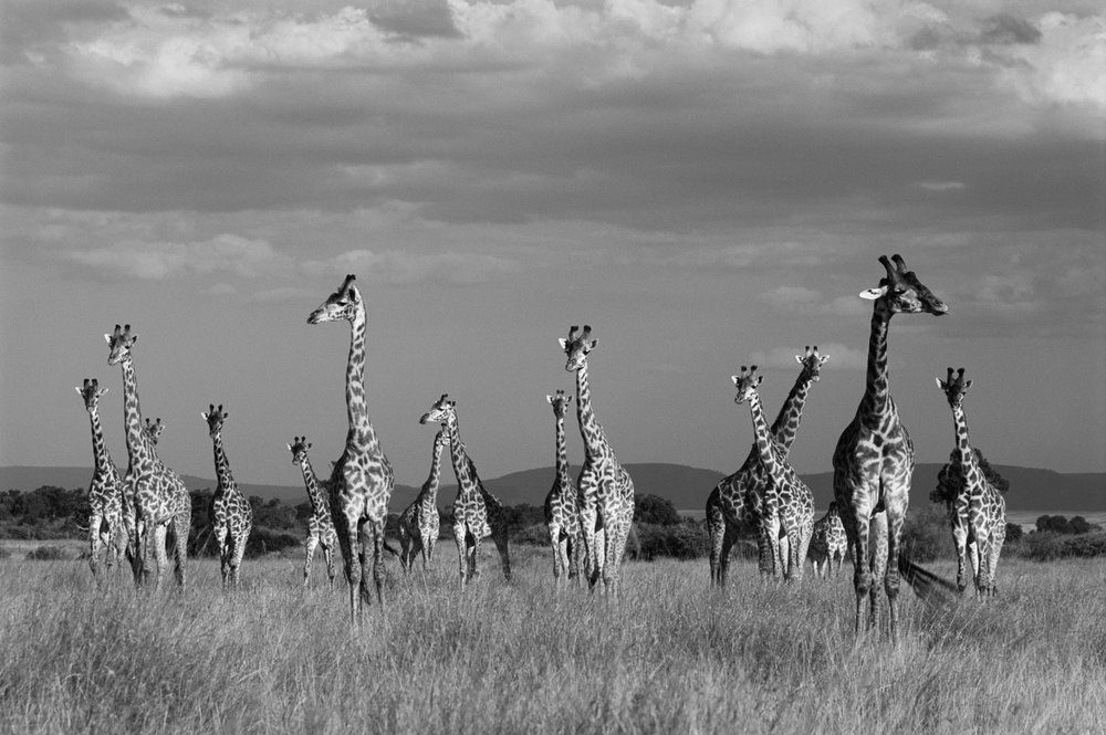Maasai giraffes in storm light, Masai Mara National Reserve, Kenya