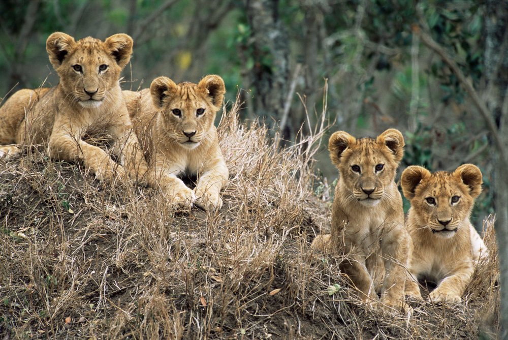 Lion cubs on termite hill, Laikipia, Kenya