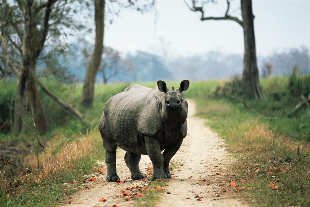Indian rhinoceros on track, Kaziranga National Park, Assam, India