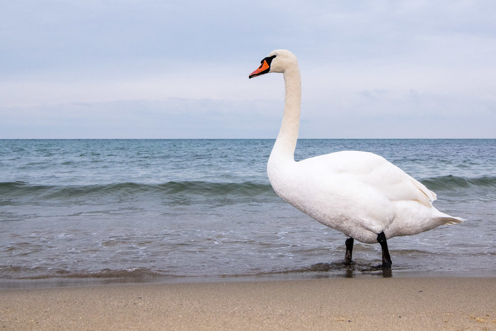 Mute swan wintering on Black Sea Coast, Varna, Bulgaria