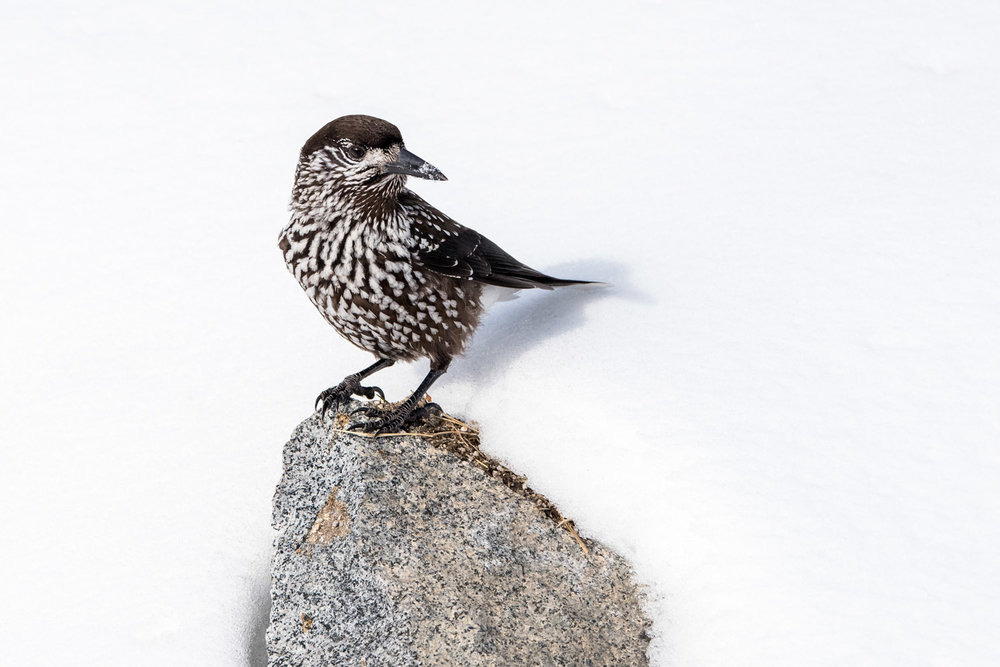 Spotted nutcracker on rock in snow, Vitosha Mountains, Sofia, Bulgaria