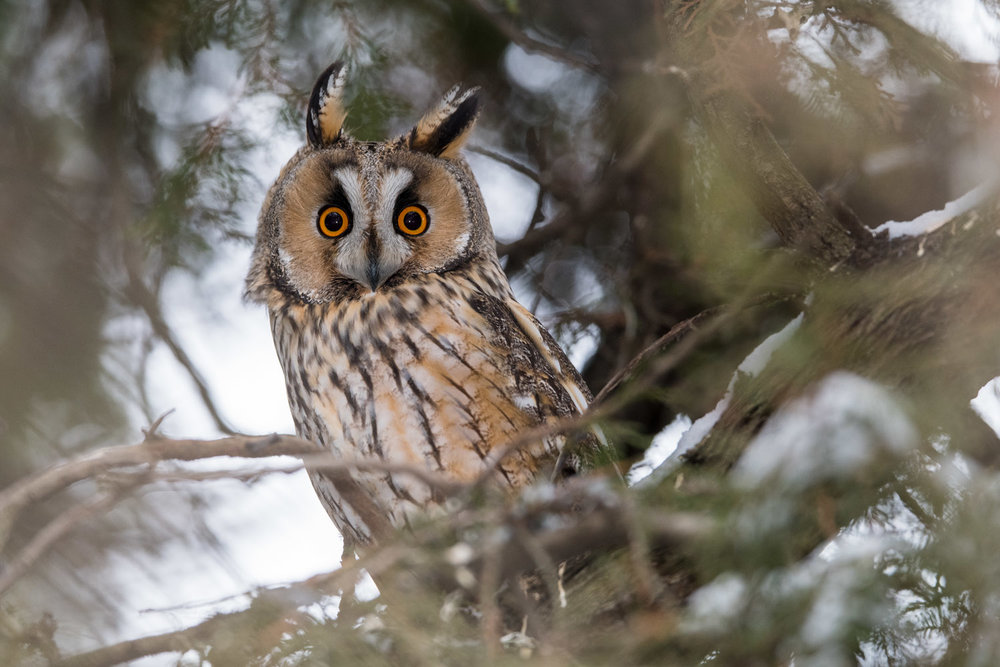 Long-eared owl, Dobrich Province, Bulgaria