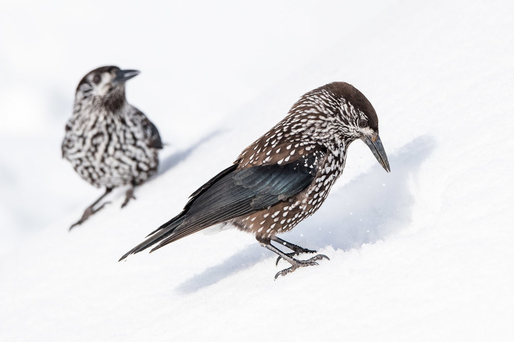 Spotted nutcrackers in snow, Vitosha Mountains, Sofia, Bulgaria