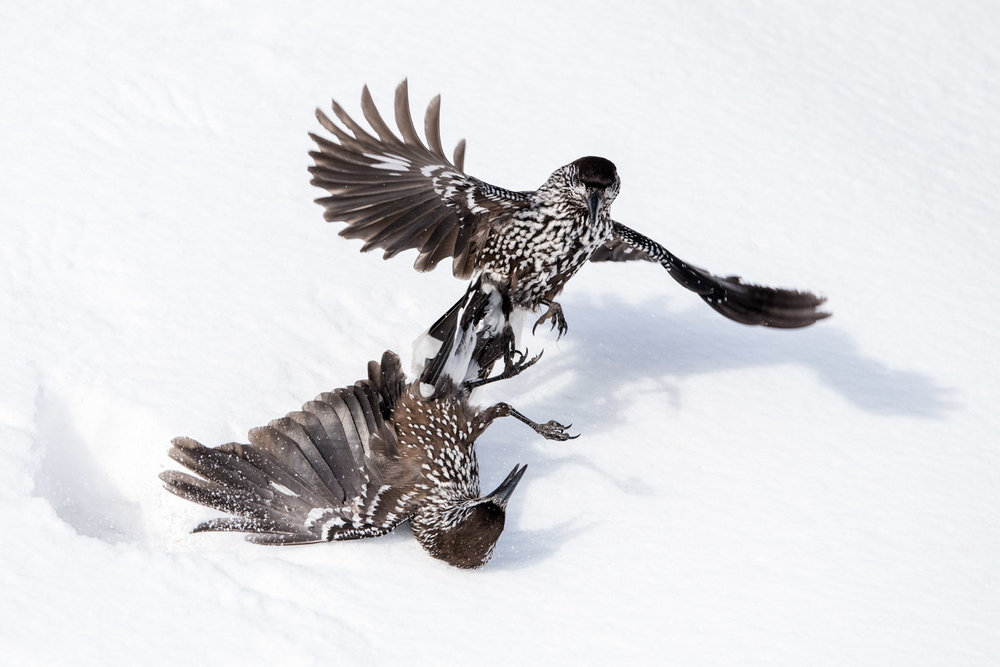 Spotted nutcrackers fighting in snow, Vitosha Mountains, Sofia, Bulgaria