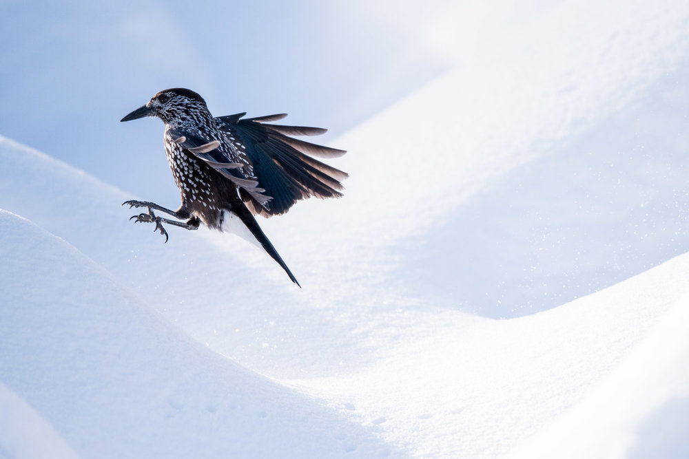 Spotted nutcracker in flight in snow, Vitosha Mountains, Sofia, Bulgaria