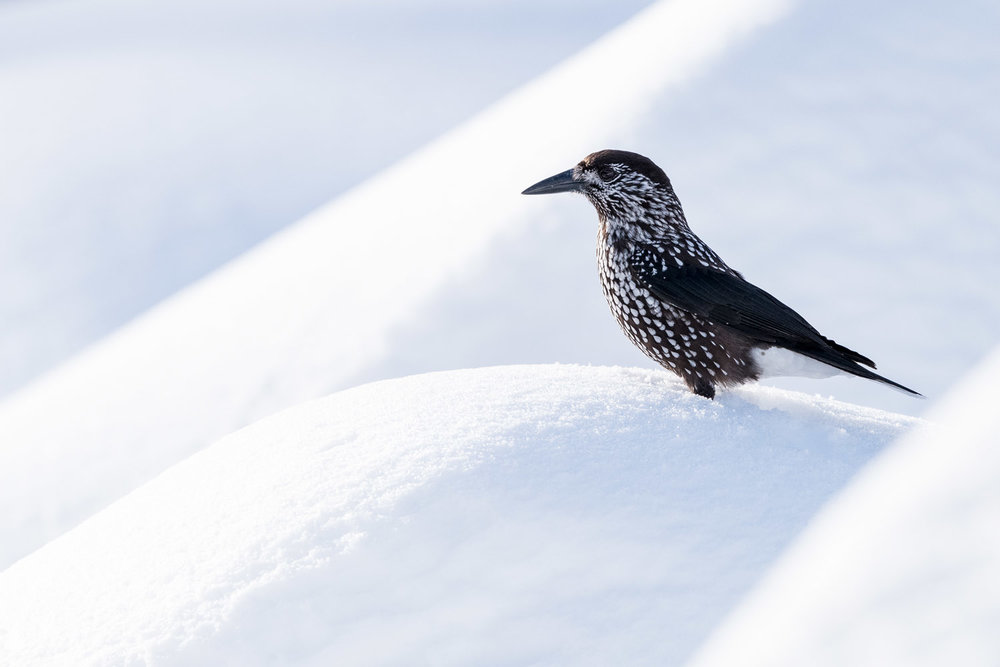 Spotted nutcracker in snow, Vitosha Mountains, Sofia, Bulgaria