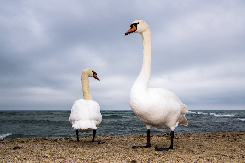 Mute swans wintering on Black Sea Coast, Varna, Bulgaria