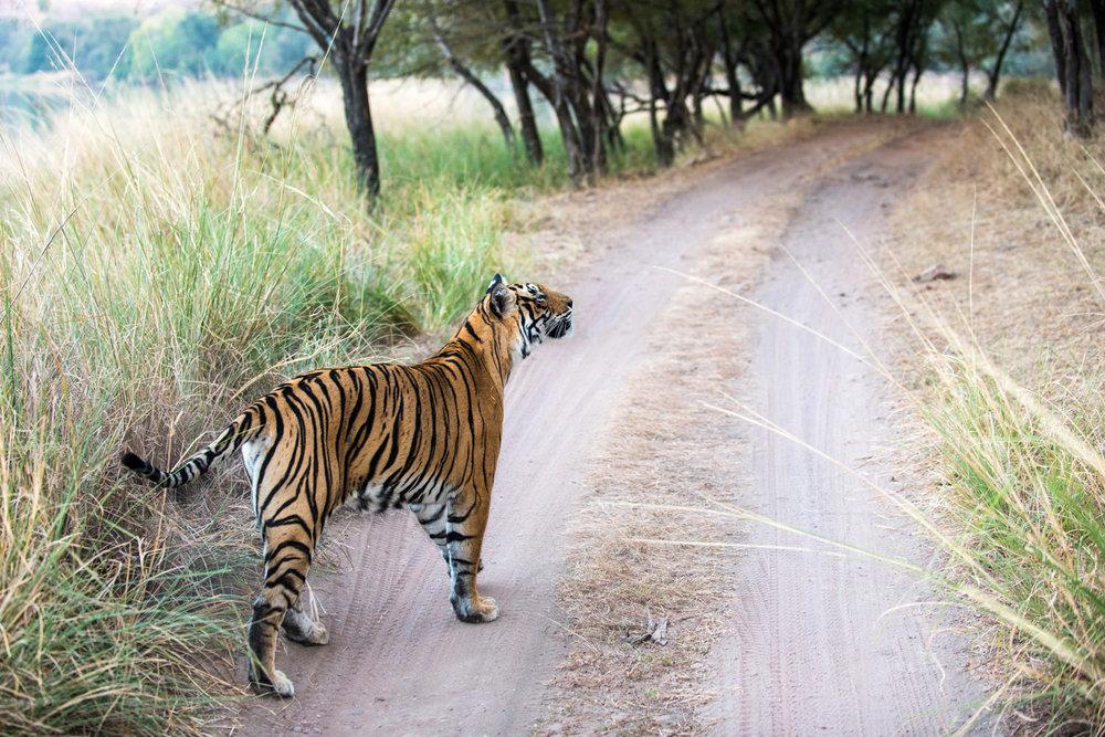 Bengal tigress on track, Ranthambhore National Park, Rajasthan, India
